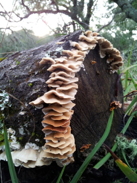 Young Turkey Tails